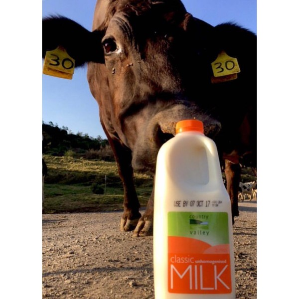 Bottle of milk with cow