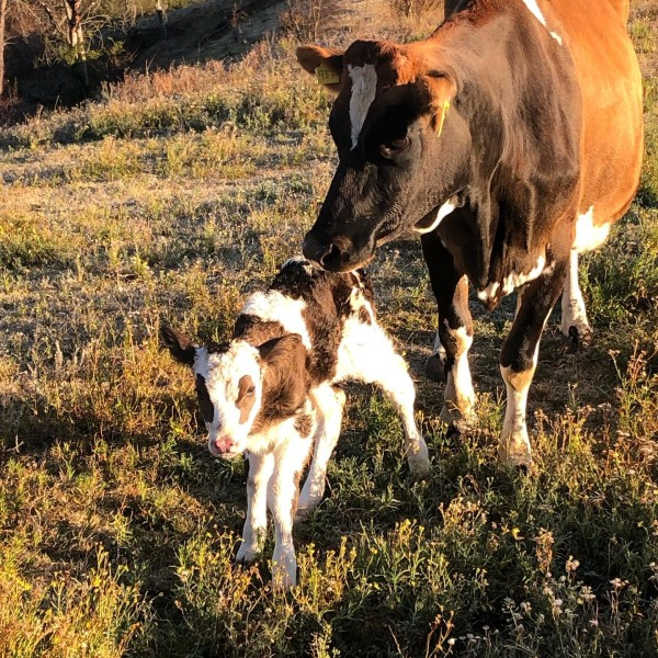 Mother cow and baby calf at Country Valley Farm