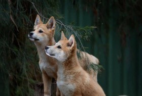 Bargo Dingo Sanctuary